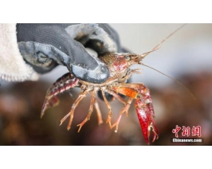 荷兰小龙虾泛滥成灾 居民不